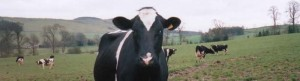 cow3a